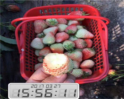 白雪公主草莓苗种苗价格-福建厦门