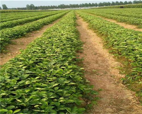 甜查理草莓苗批发价格,湖北黄石甜查理草莓苗