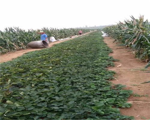 章姬草莓苗主产区,湖北黄石章姬草莓苗