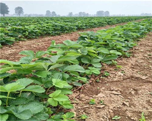 一代法兰地草莓苗多少钱一棵,陕西安康一代法兰地草莓苗