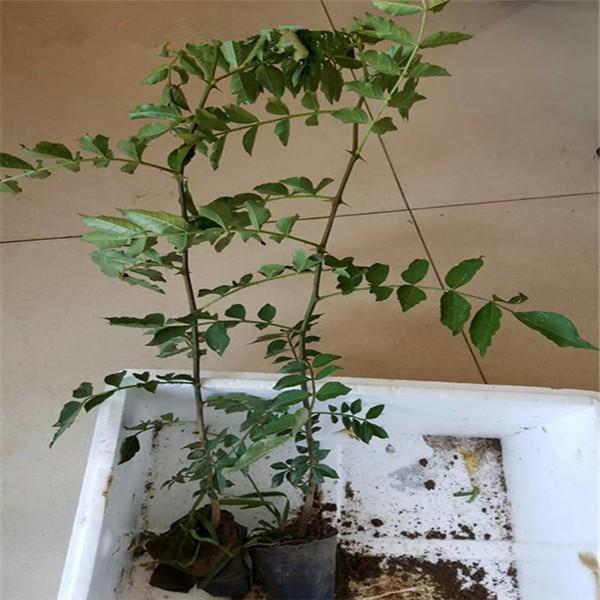 红皮花椒苗亩产多少,05粗花椒苗