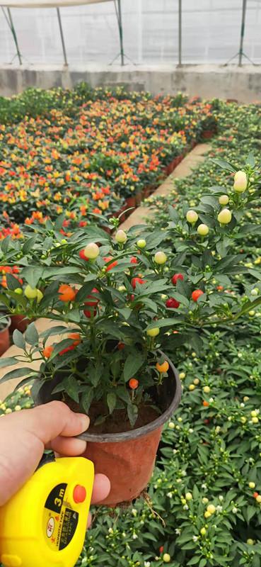 安徽安庆一品红种植步骤报价: