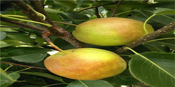 四川早酥红梨树苗种植销售