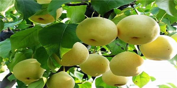 陕西西安秋月梨树苗价格