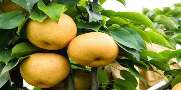山东临沂优质玉露香梨树苗种植销售