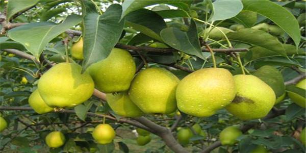 四川雅安优质梨树苗品种批发价