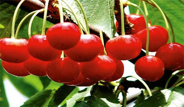 台州大红灯樱桃树苗苗圃位置