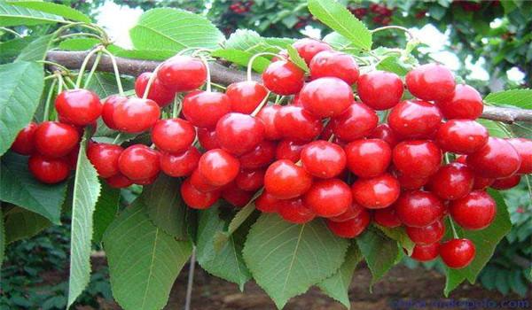 杭州2公分的红灯樱桃树苗大量批发