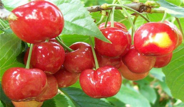 2年的奇早樱桃树苗包邮价,泰州2年的奇早樱桃树苗