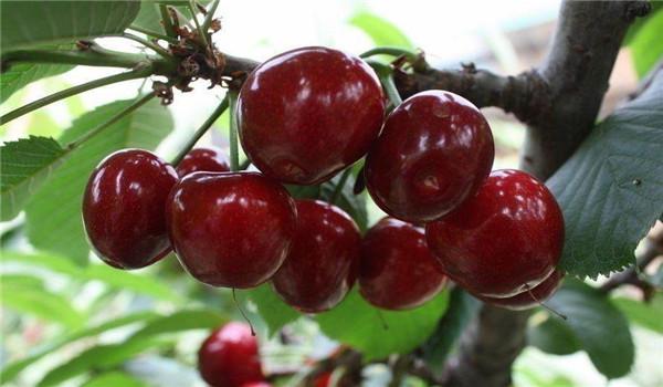 贵州铜仁红灯大樱桃树苗价格