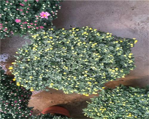 资讯:贵州铜仁天竺葵一株多少钱
