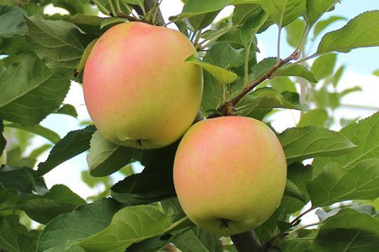葫芦岛3年的苹果树苗批发