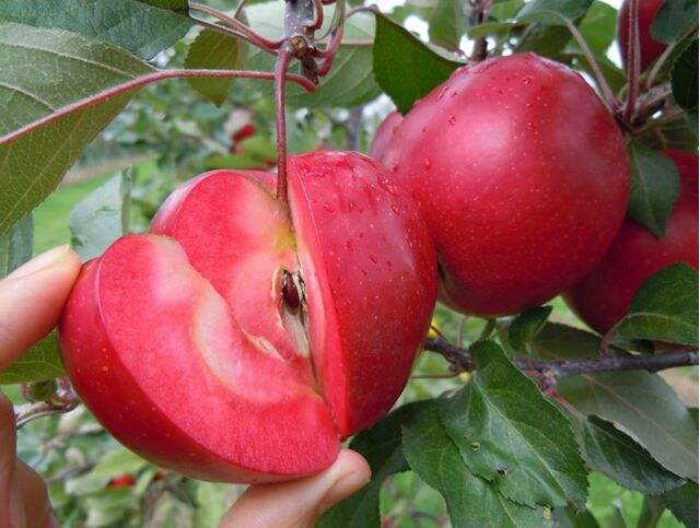 菏泽5公分的烟富10号苹果苗裸根价格