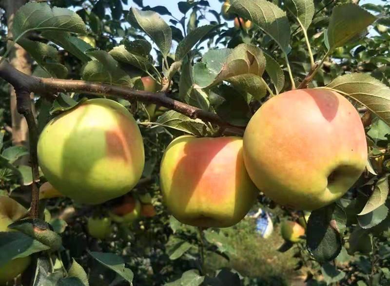 昭通地径5公分的苹果树苗包成活