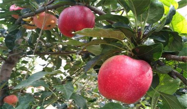 淄博矮化烟富8号苹果树苗多少钱