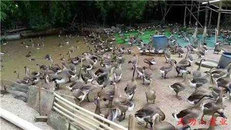 台州灰鹅苗哪些品种