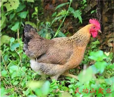 东乡族鸭苗哪些品种