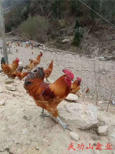 东源天露黑鸡苗哪些品种