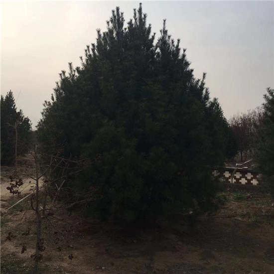 泰安宁阳县10-15公分白皮松价格-福顺园林