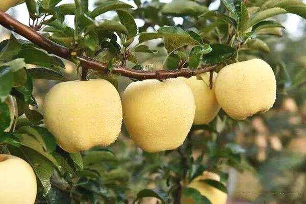 濮阳维纳斯黄金苹果树苗多少钱