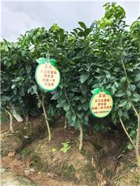 上饶信州三红柚/三红蜜柚苗基地价格