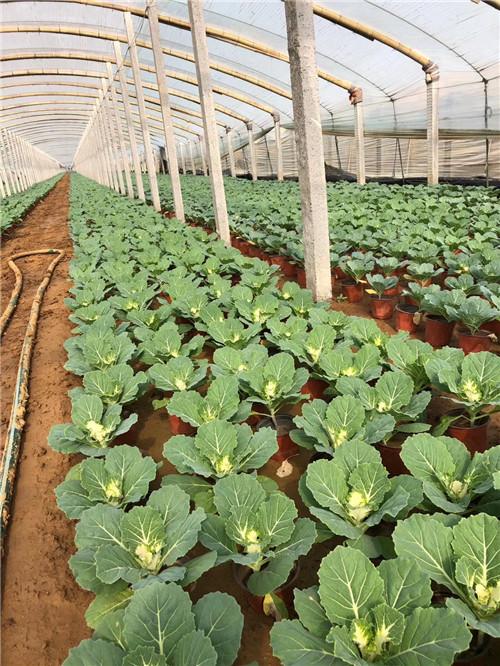 今日信息:贵州安顺蛇鞭菊品种全