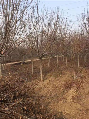 调兵山高4米白皮松各种规格苗圃