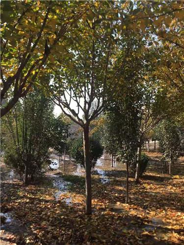 商河高3米白皮松各种规格苗圃