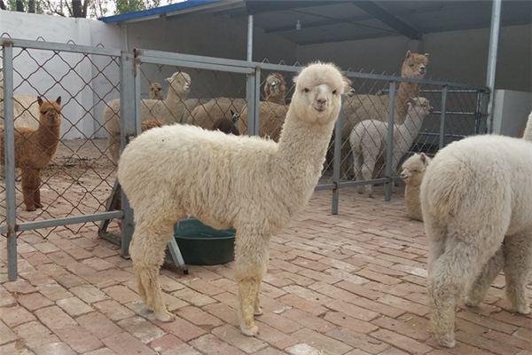 河源骆驼展览出租骆驼租赁本地