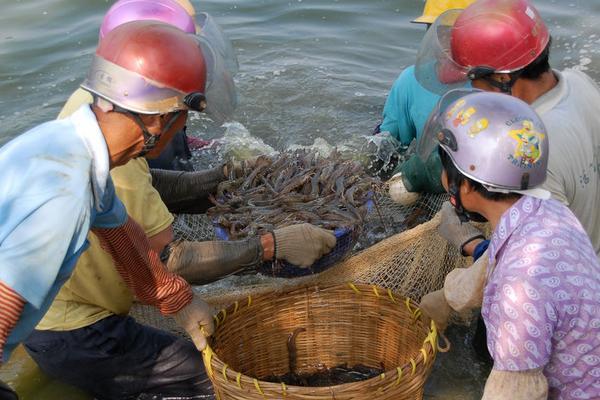 福州南美白对虾价格
