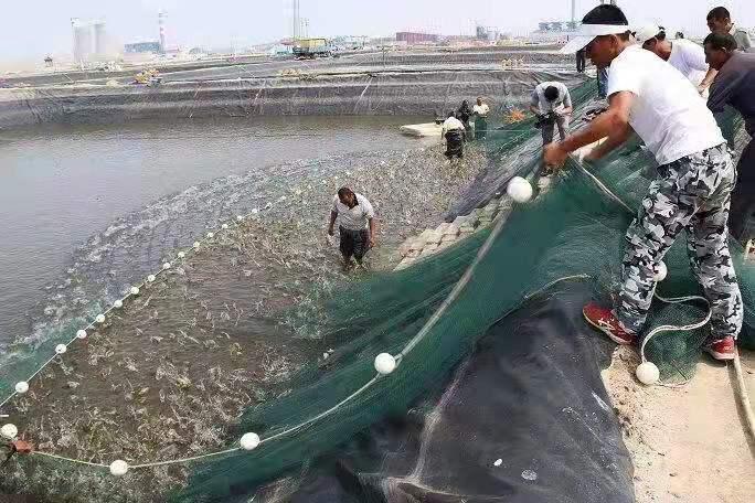 宾县南美白虾的养殖