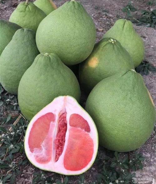 衢州开化暹罗红柚苗/泰国三红蜜柚苗来电咨询供应蜜柚果树苗