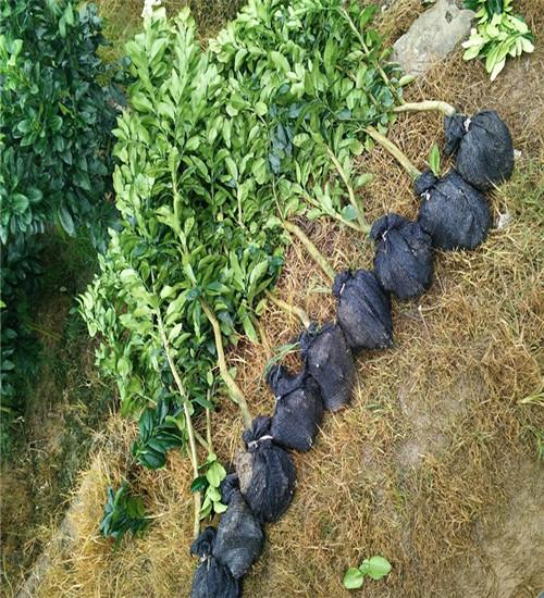 鄂城三红蜜柚苗规划种植几亩