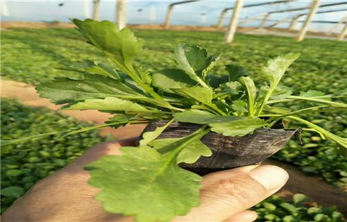 合肥市批发价格低的无尽夏绣球-节日草花种植基地