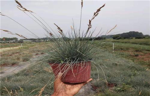 湘潭市盆栽连翘种植基地苗圃