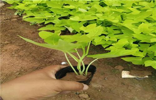 地被草花批发-非洲凤仙种植基地-伊犁报价