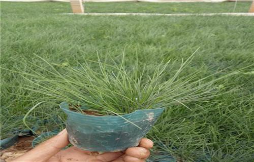 德州市批发价格低的蓝色矮牵牛-柳叶马鞭草种植基地