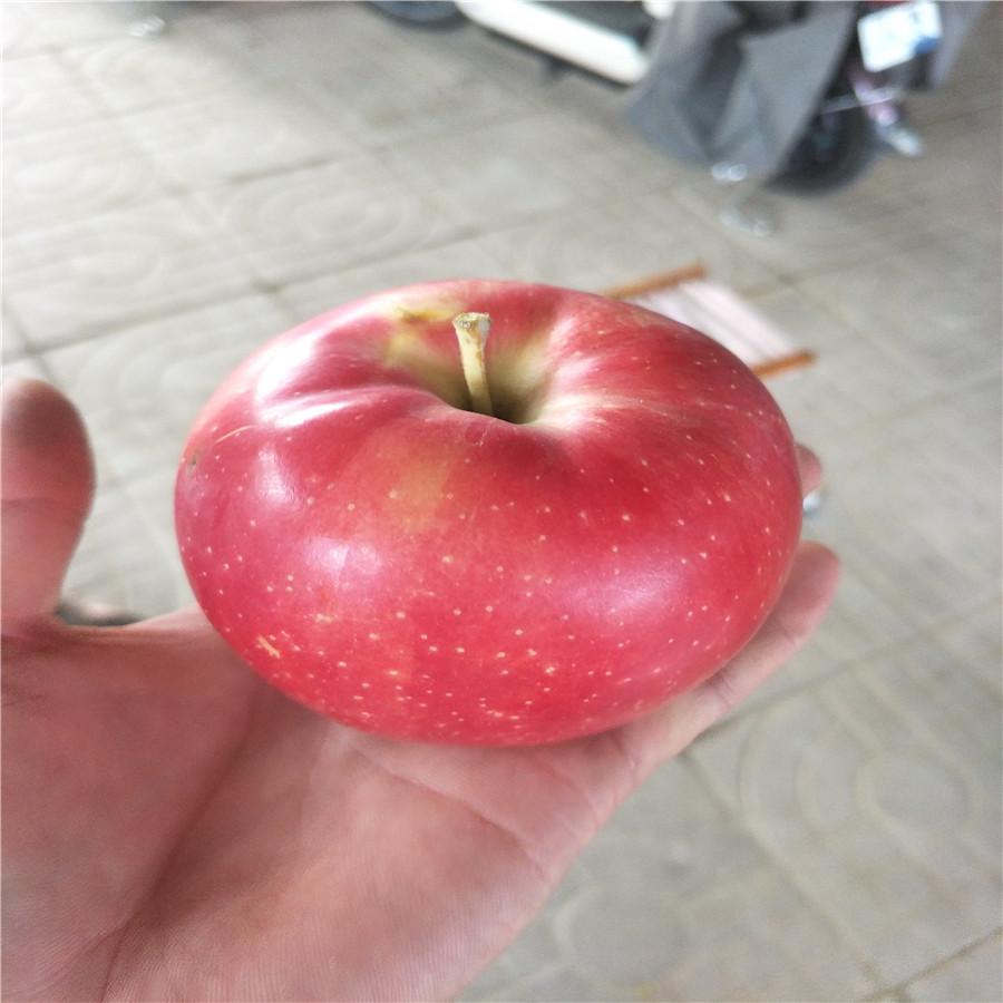 辽宁苹果苗烟富8苹果树开角器苹果苗基地