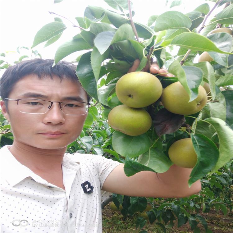 嘎啦苹果苗烟富8号苹果树苗价钱一棵苹果苗价格、