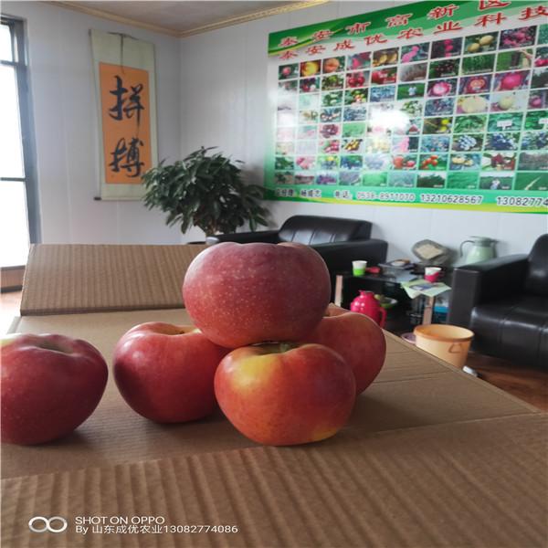 脱毒苹果苗烟富8号苹果树管理苹果苗多少钱