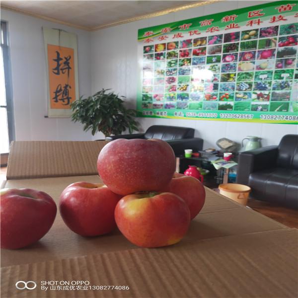 苹果苗几年结果烟富0苹果树苗苹果苗多少钱