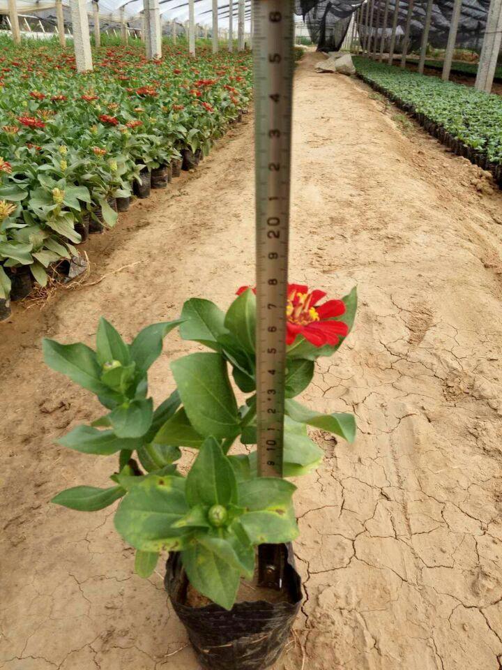 焦作市专业打造玛格丽特花海设计认准九鼎花卉