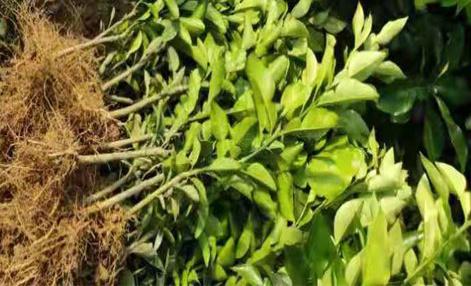 寿宁哪里有出售/卖/暹罗红柚苗