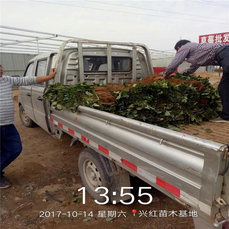 通化梅河口草莓苗价格多少钱价格行情