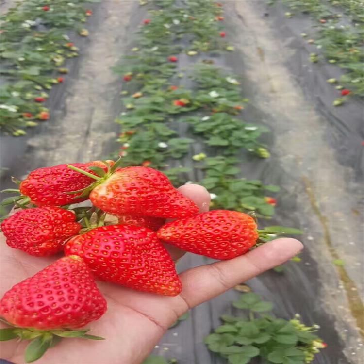牡丹江东安草莓苗盆栽种植技术指导