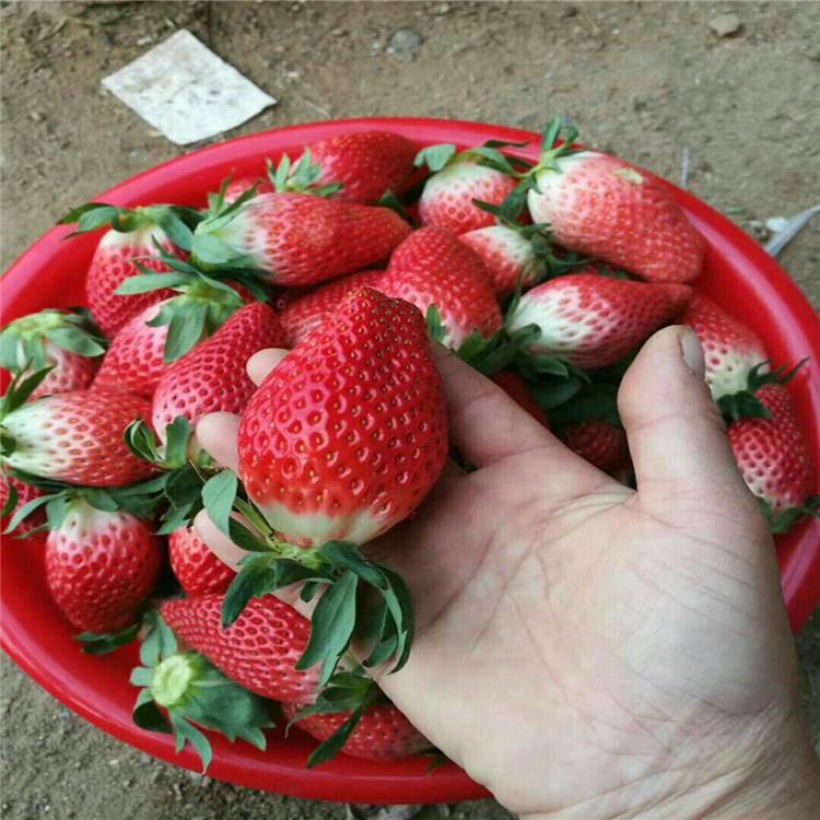 雷州脱毒草莓苗品种纯正