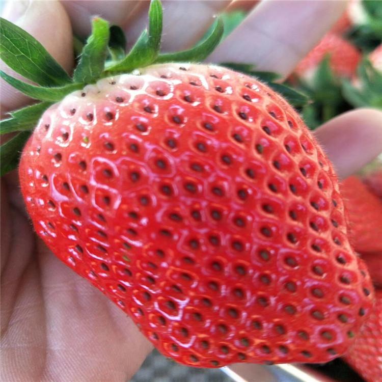 商都法兰地草莓苗价格保姆式扶持