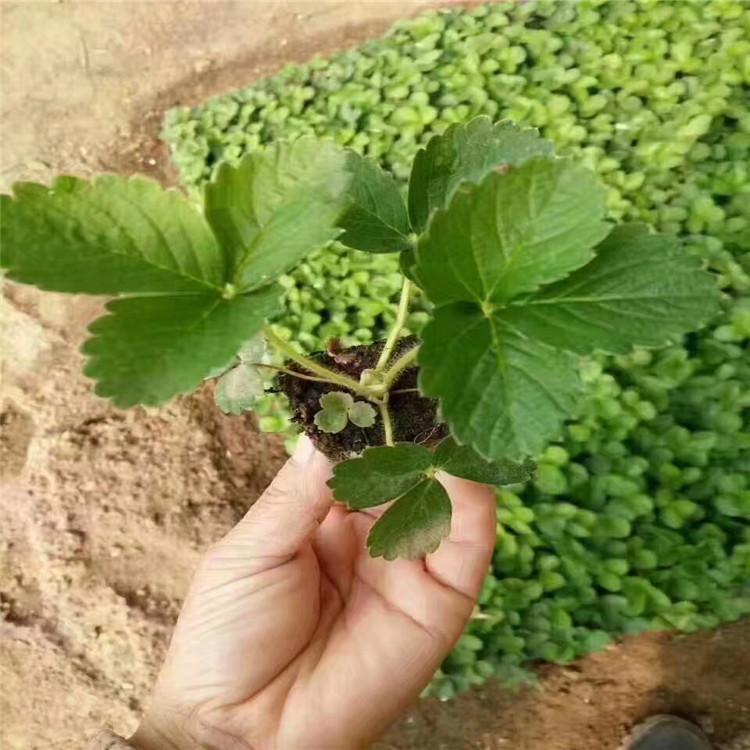 大冶草莓苗价格超低价