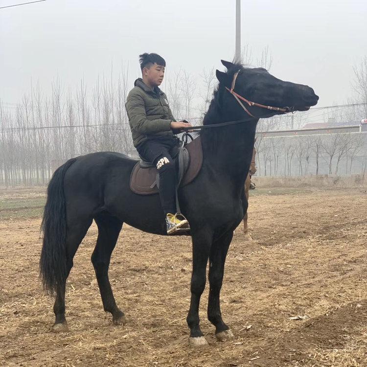 株洲矮马养殖,骑乘拍照矮马长期供应,正企马业