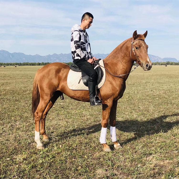 安阳德保矮马养殖场,宠物矮马长期供应,正企马业